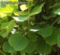 Mobile Preview: Actinidia deliciosa 'Gold', 20-500 Samen